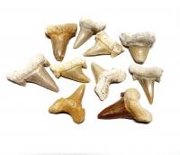 10er Set Haifischzahn versteinert ca. 25 bis 40 mm aus Marokko