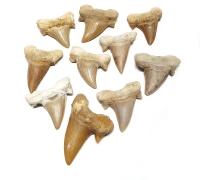 10er Set Haifischzahn versteinert ca. 30 bis 40 mm aus Marokko